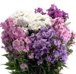 Wholesale Phlox Flowers