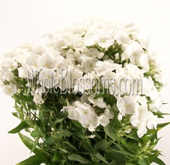 Phlox White Flower