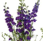 Bulk Fresh Cut Larkspur Flower