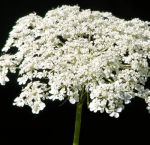 Bulk Queen Anne's Lace