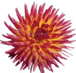 Bicolor Red Yellow Dahlia Flower Sangria