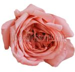 Goscinny Coral Orange Garden Rose Flower