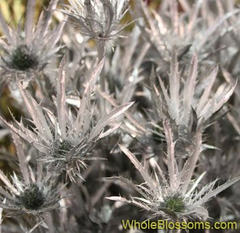 Silver Thistle Dyed Flower