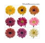 Assorted Spider Gerbera Flowers