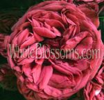 Dark Pink Kabuki Spray Garden Rose