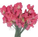 Bulk Sweet Pea Wedding Flowers