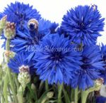 Cornflower Wholesale