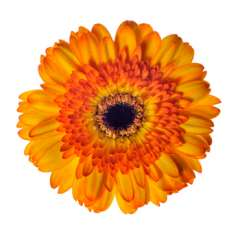 Bicolor Yellow Orange Gerbera Daisy