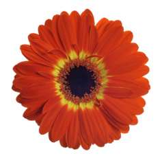 Bicolor Orange Yellow Gerbera Flower