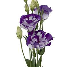Lisianthus Bi-Color Purple Flower