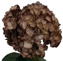 Hydrangea Chocolate Airbrushed Flower