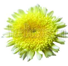 Cremon Disbud Flower - Yellow