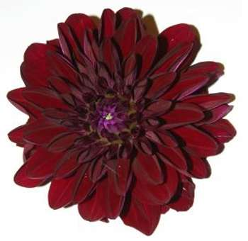Burgundy Dahlias