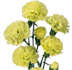 Green Spray Carnations