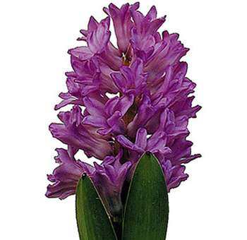Lavender Purple Hyacinth flower