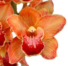 Cymbidium Orange Orchid