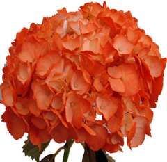 Hydrangea Orange Airbrushed Flower