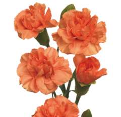 Orange Spray Carnations