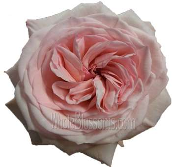 Light Pink Garden Rose