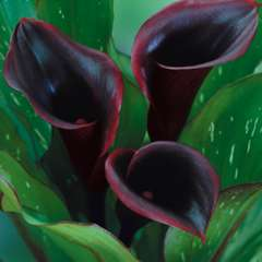 Mini Calla Lily Dark Schwarzwalder Black Star