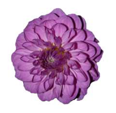 Purple Dahlia Flower