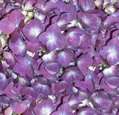 Puple (mixture tone) Hydrangea Petals