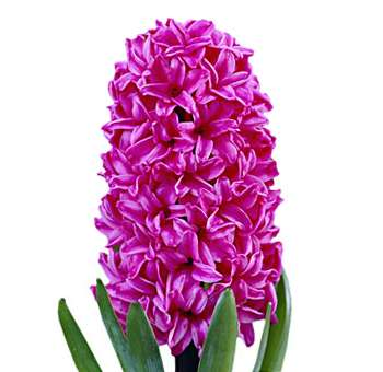 Purple Hyacinth Flower