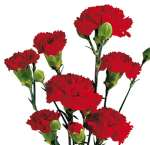 Carnation Red Flowers Mini