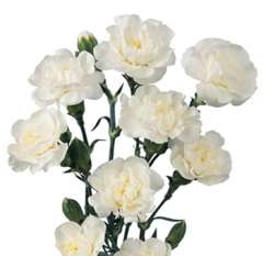 White Spray Carnations