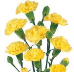 Carnation Yellow Flowers Mini
