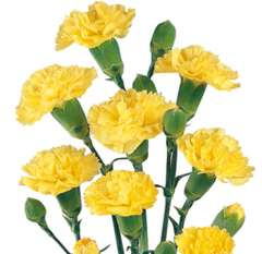 Yelow Spray Carnations