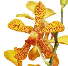 Yellow Panee Mokara Orchid Flower