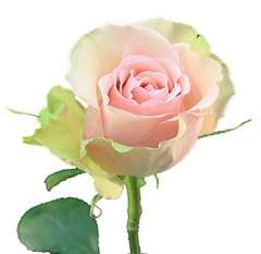 Aerobic Light Pink Rose