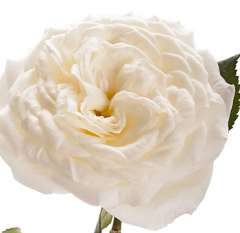 Alabaster White Garden Rose