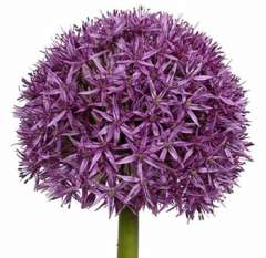 Allium Purple Flower - Largeheaded