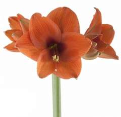 Amaryllis Orange Flowers