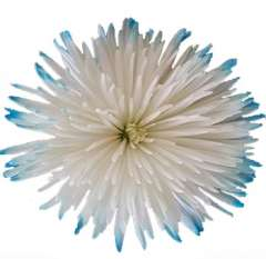 White Spider Mums with Turquoise Tips