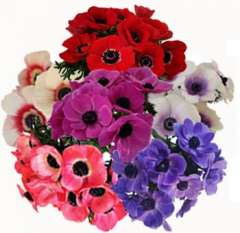 Anemone Assorted