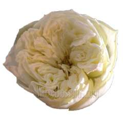 Annice Cream Romantic Garden Rose