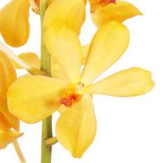 Aranda Yellow Mokara Orchid Flower