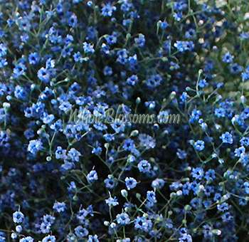Blue Baby's Breath Flowers