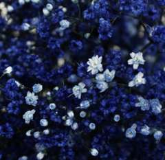 Baby's Breath Dark Blue Flowers