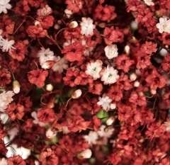 Baby's Breath Dark Red Flowers