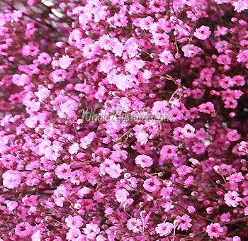 Shop for Baby Breath Pink Fillers Flowers - Whole Blossoms