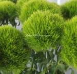 Wholesale Dianthus