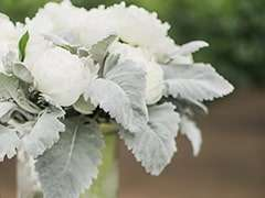 Dusty Miller Flower Green