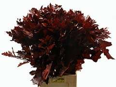 Buy Red Oak Leaves Bulk
