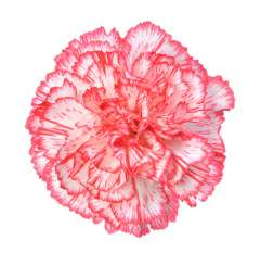 Bi-Color White-Red Carnation