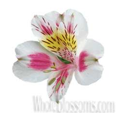 Bi-Color White-Pink Alstroemeria Flower