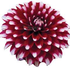 Bicolor Dark Purple Dahlia Flower Yin Yang